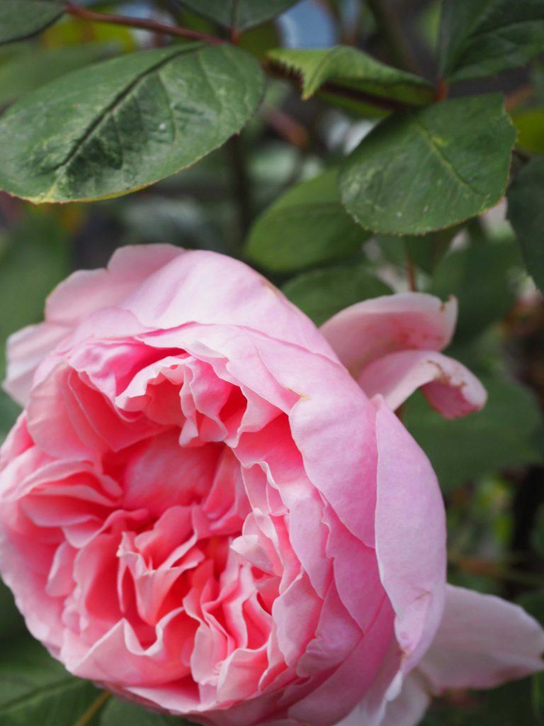 Rose gefüllt