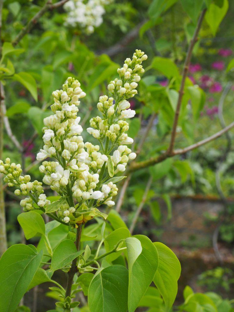 Fliederbusch im eigenen Garten