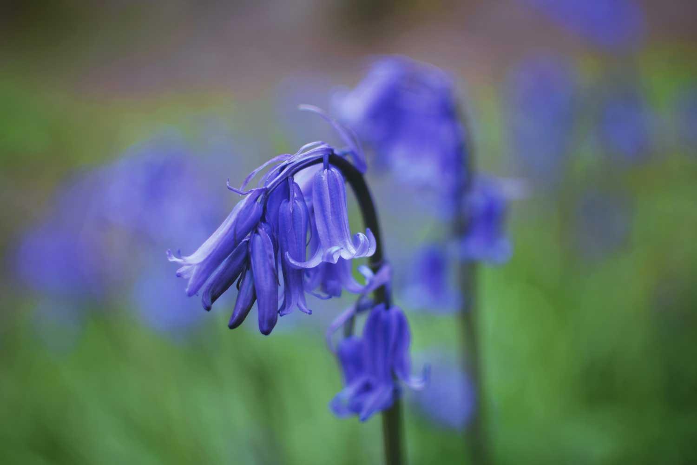 Bluebells: Botanisches Wunder aus Großbritannien