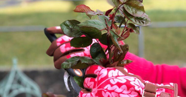 Rosen schneiden – so geht es!